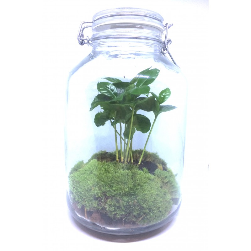 Terrarium Coffee Plant In A Jar