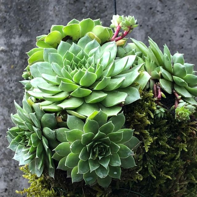 Special order for a special person outdoor kokedama Like it? #succulent #sempervivum #kokedama